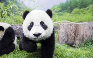 Cute-panda_1920x1200-e1425283799659